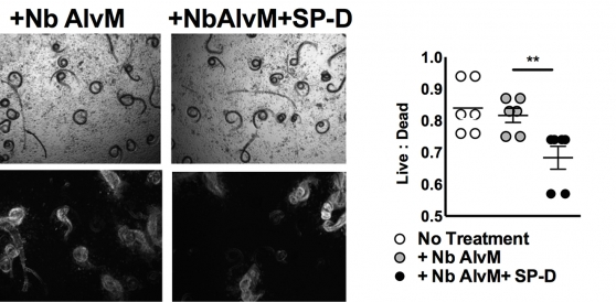 SP-D induces macrophage-associated killing of Helminths